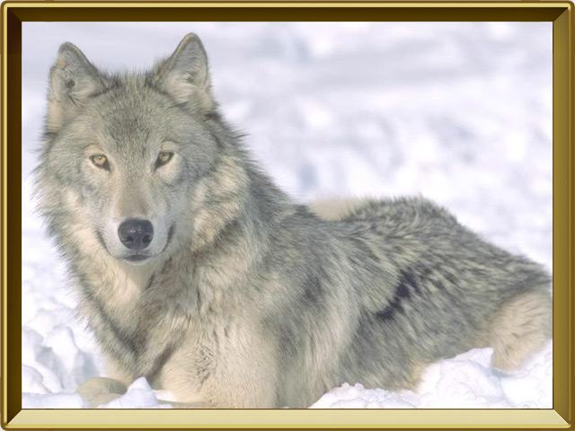 Волк — зверь, фото в рамке №3