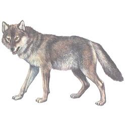 Волк — зверь, картинка цветная