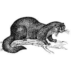 Выдра — зверь, картинка чёрно-белая