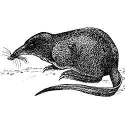Выхухоль — зверь, картинка чёрно-белая
