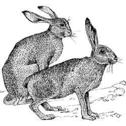 Заяц — зверь, картинка чёрно-белая