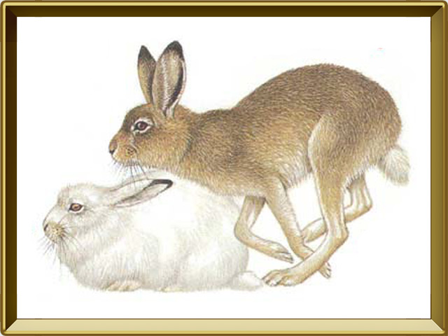 Заяц — зверь, фото в рамке №1