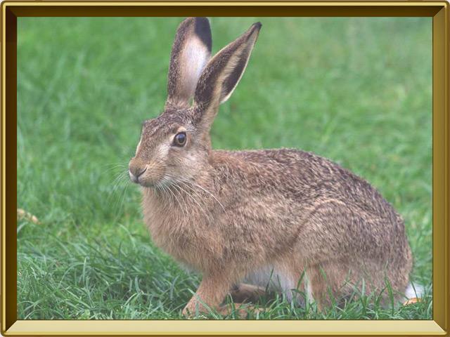 Заяц — зверь, фото в рамке №2