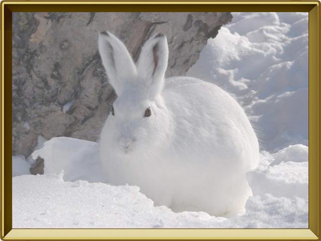 Заяц — зверь, фото в рамке №3
