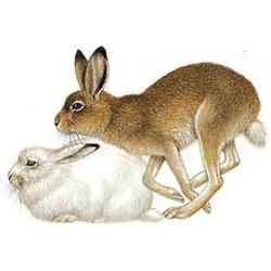 Заяц — зверь, картинка цветная