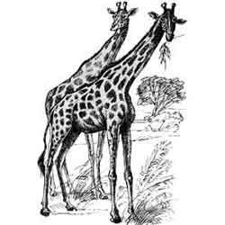Жираф — зверь, картинка чёрно-белая