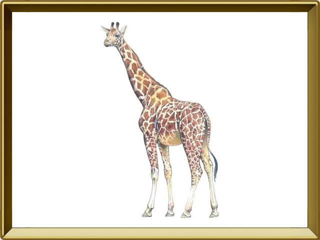 Жираф — зверь, фото в рамке №1