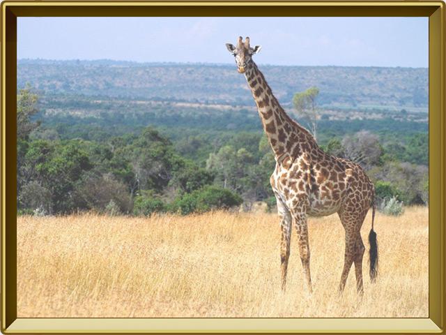 Жираф — зверь, фото в рамке №2