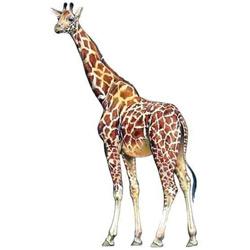 Жираф — зверь, картинка цветная